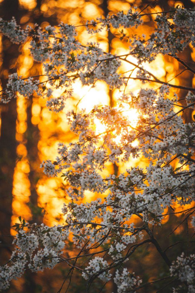 Sole in Ariete 2021 : fiori di un bianco puro con un tramonto infuocato sullo sfondo